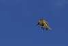 Honeyeater returning......