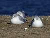 grounded gulls..