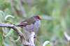 Red -browed Finch & NH Honey Eaters
