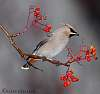 Waxwings and a Redwing