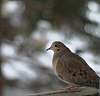 Busy Bokeh Dove