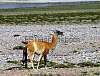 Female Guanaco giving birth