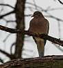 Roosting Dove