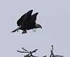 Bald Eagle, heavy PP