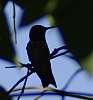 humming shade