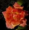 Rich Peach....................