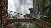 Tufted Titmouse and Bluejay