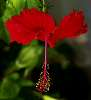 Shaded Red Hibiscus in bloom.......
