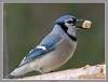 What do Blue jays eat...