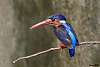 Two Kingfishers shot this week