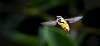 Hoverfly in Flight....
