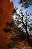 Sun-kissed Sandstone and Pine - Bryce Canyon