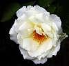 Artic White Rose