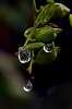 As drops form..........