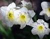 Aged Daffodils