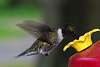 Hummingbird Returns