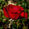 Not a Red Poppy...........