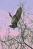 Turkey Vulture Beginning Flight