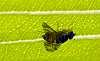 European Fruit Fly..........