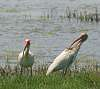 Three Ibis Images