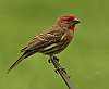 Perky little male house finch
