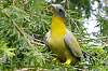 Green Pigeon - Elusive vs Inexorable