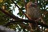 Spotted Owl's Daytime Nap Disturbed by Noisy K30 Shutter Release