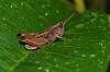 Grasshopper in the rain