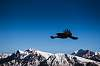 Alpine chough in flight