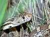 Bull Snake(?) in the grass