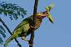 Brownheaded Barbet Breakfasts on Praying Mantis Saying its Last Prayer!