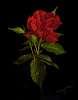 Las Rosa Cinco de Mayo