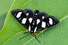 8 Spotted Forester Moth