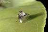 Tiny tiny little fly