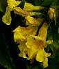 Yellow trumpets.........