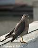 Lesser Kestrel on the Rampage - A Picture Story