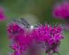 Hummingbirds and blooms