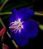 Blue in Oils.......