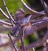 Juvenile Blue Wren