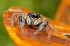 More Salticidae....