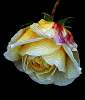 A painted Rose.............
