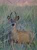 Morning Buck in Velvet