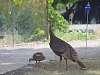 Wild Turkey in Front Yard
