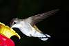 A few more Ruby-Throated Hummingbirds