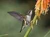 A few more Hummingbirds...