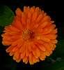 Orange Gerbera......