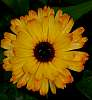 Yellow Gerbera with tips.....
