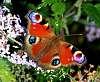 A few recent British butterflies