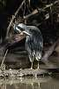 Night heron / Bihoreau violacé