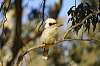 Kookaburra in the old gum tree